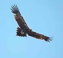 Flight of the Eagle (5) by Wildpix