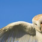 Barn Owl Hovering by grandaded