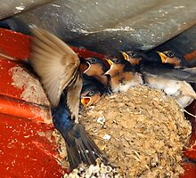 Swallows Feeding at Rutherglen by Darren Stones
