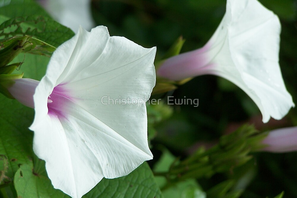 white trumpet by Christopher  Ewing