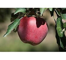 Red Apple on the Tree Photographic Print
