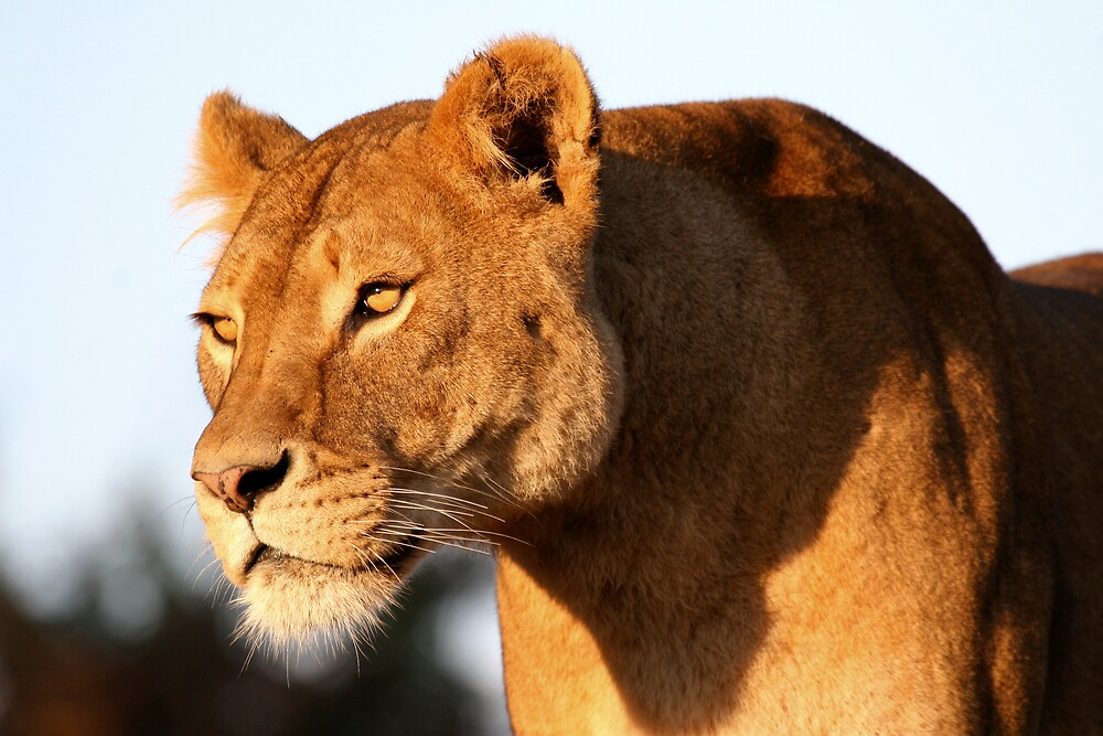 Lioness by Snapshooter