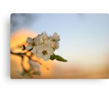 Pear Tree Flowers against Sunset Canvas Print