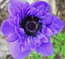 Purple Poppy Anemone by Kumiko