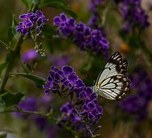 Male Caper White Butterfly by JLOPhotography