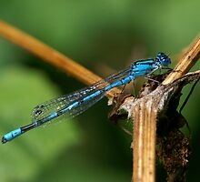 Common Blue Damselfly Number 1 by Alan Wood