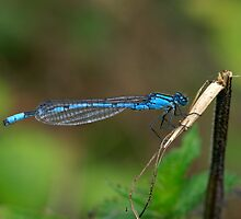 Common Blue Damselfly Number 6 by Alan Wood