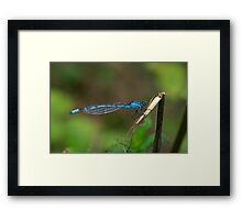 Common Blue Damselfly Number 6 Framed Print