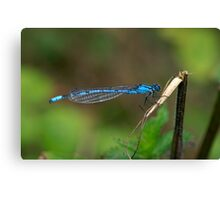 Common Blue Damselfly Number 6 Canvas Print