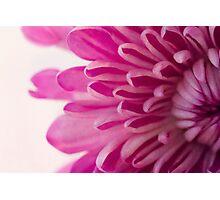 Magenta Petals Macro Floral Photograph Photographic Print