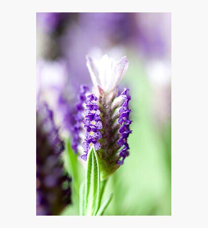 Lavender Garden 2 Photographic Print