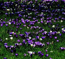 Kew Crocus by Barnbk02
