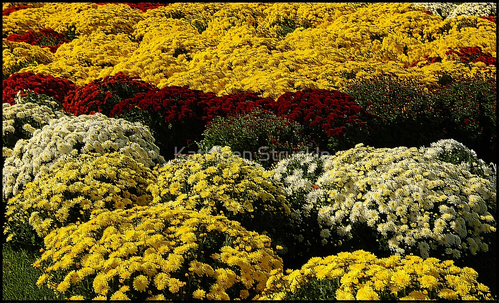 Carpet OF MUMS by Kathleen Struckle