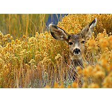 Colorado Deer Photographic Print
