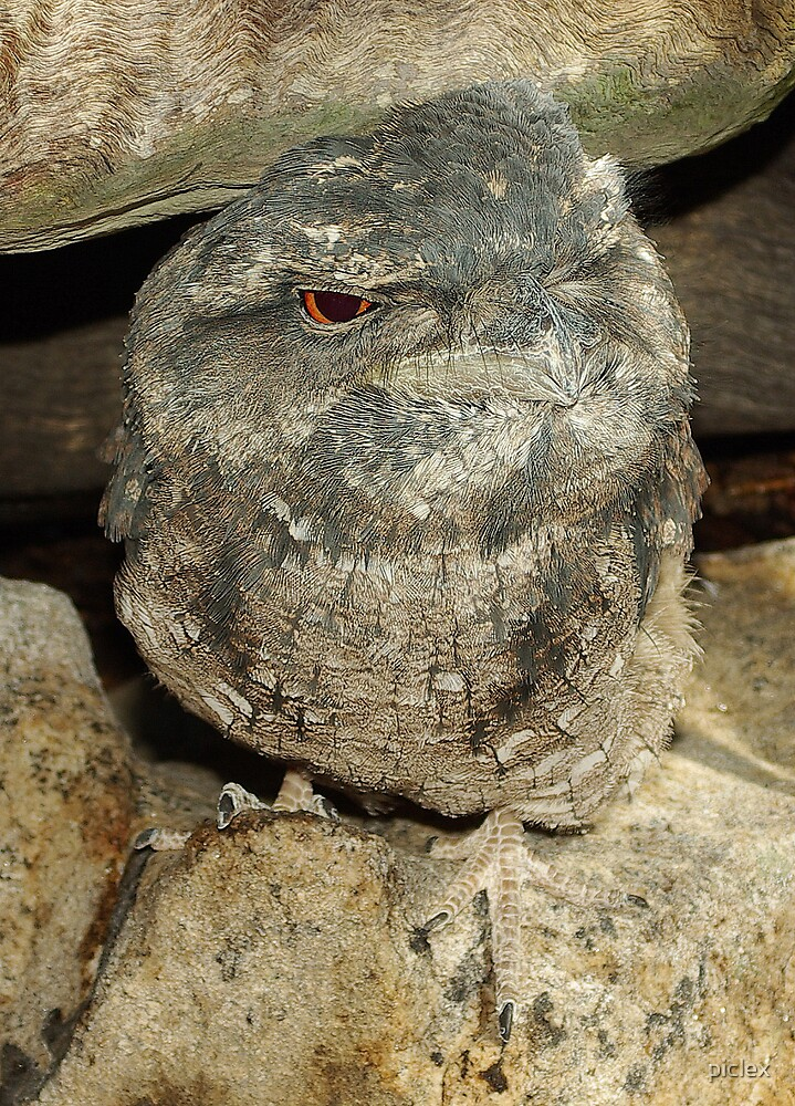 Tawny Frogmouth by piclex