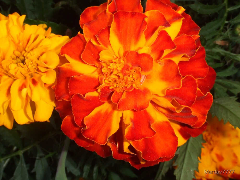 Fall Marigolds by Mardav7777