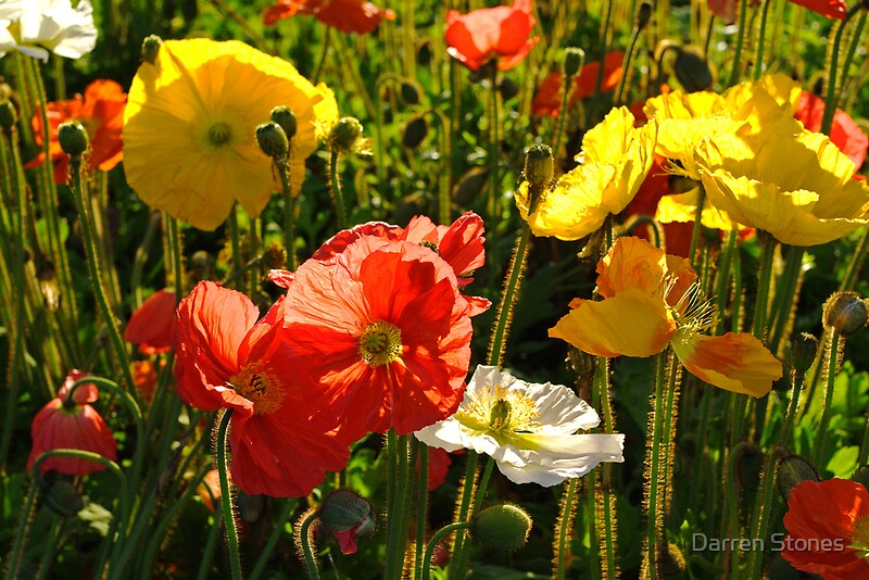 Quot Iceland Poppy Wagga Wagga Quot By Darren Stones Redbubble
