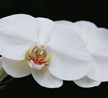white orchid by Marquee Smith