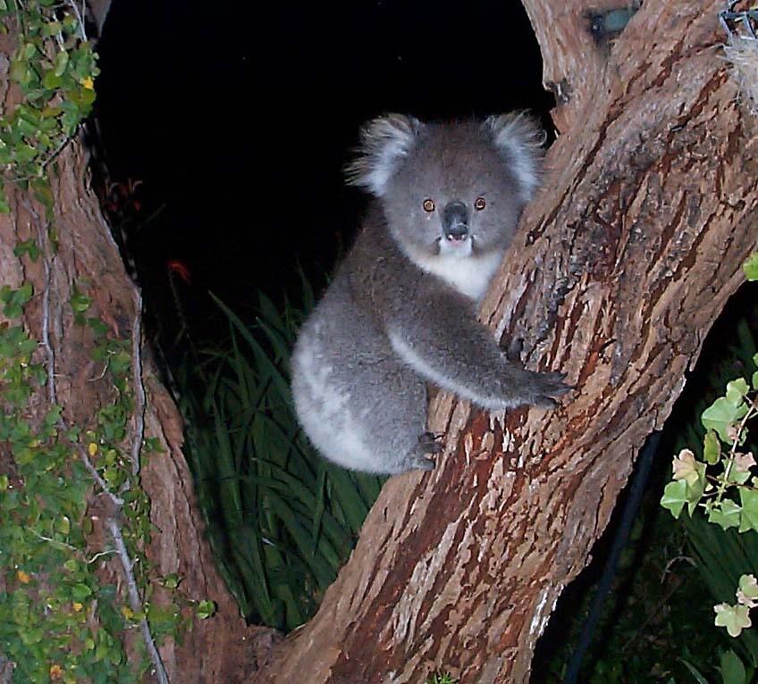 Koala  by Jacko