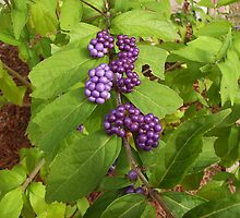 Beauty Berry by 1FANCY1