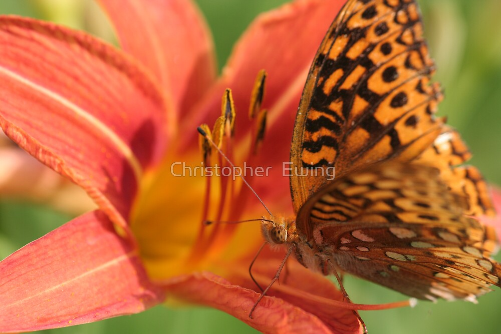 butterfly on a lily by Christopher  Ewing