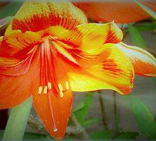 Merry amaryllis by ♥⊱ B. Randi Bailey
