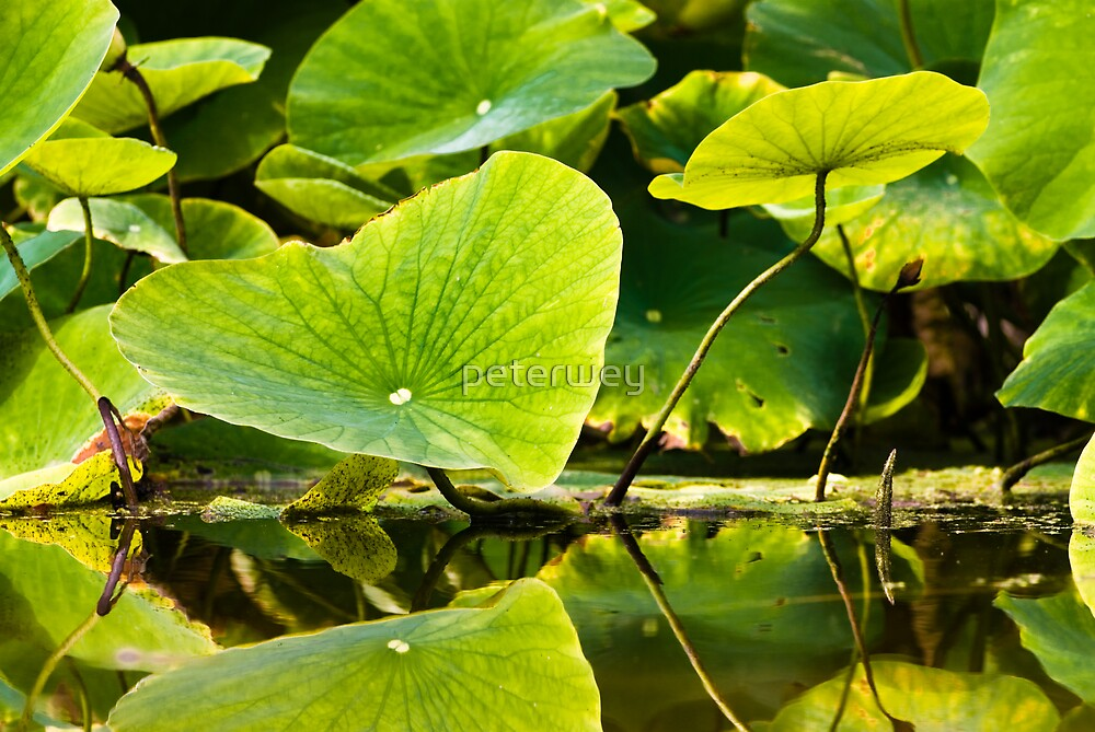 leafs on water by peterwey
