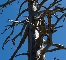 Silhouette of a dead tree against the blue sky by Andrew Stock