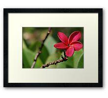 Plumeria or Frangipani Framed Print