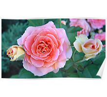 Pink & Yellow Roses Poster