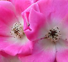 Pink Climbing Roses by jenndes