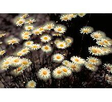 Double Daisy Photographic Print