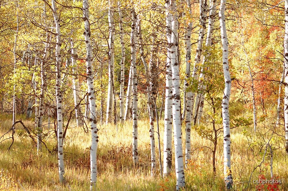 Aspen Forest by cshphotos