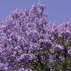 Beautiful Jacaranda - Adelaide South Australia by indiafrank