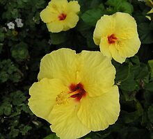 Yellow Hibiscus by laughingoak