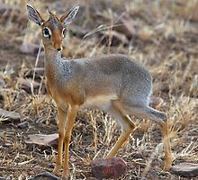 Dikdik, Serengeti, Tanzania.  by Carole-Anne