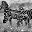 ZEBRA FAMILY IN BLACK & WHITE -  BURCHELL'S ZEBRA – Equus burchelli – Bontkwagga by Magriet Meintjes