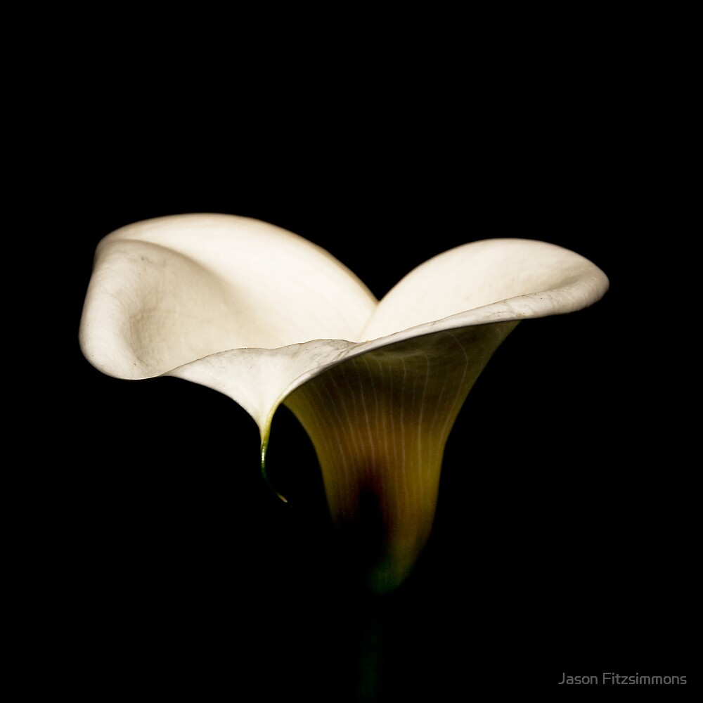 White Lily by Jason Fitzsimmons