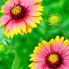 Red Yellow Flowers by JCVPhotographs