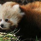 Panda Baby by Moth
