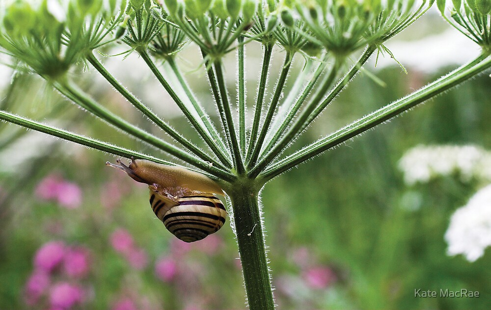 Snail on Hogweed by Kate MacRae