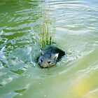 Baby Wombats Can Swim! by Asoka