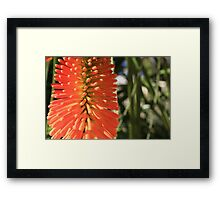 My Red Hot Poker Framed Print