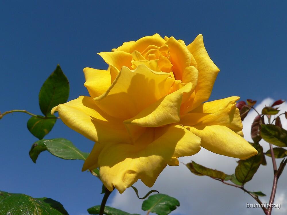 Late Summer rose by brummieboy