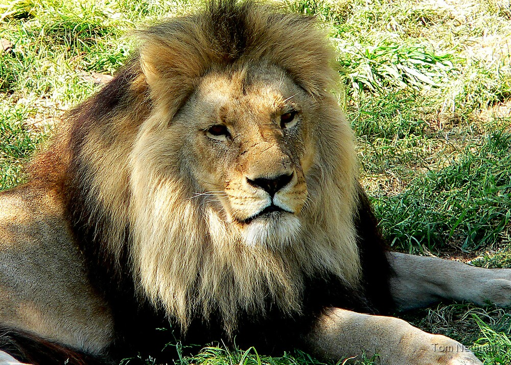 Lion by Tom Newman