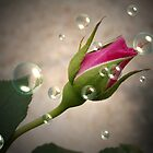 Rose Bud With Bubbles by Rpnzle