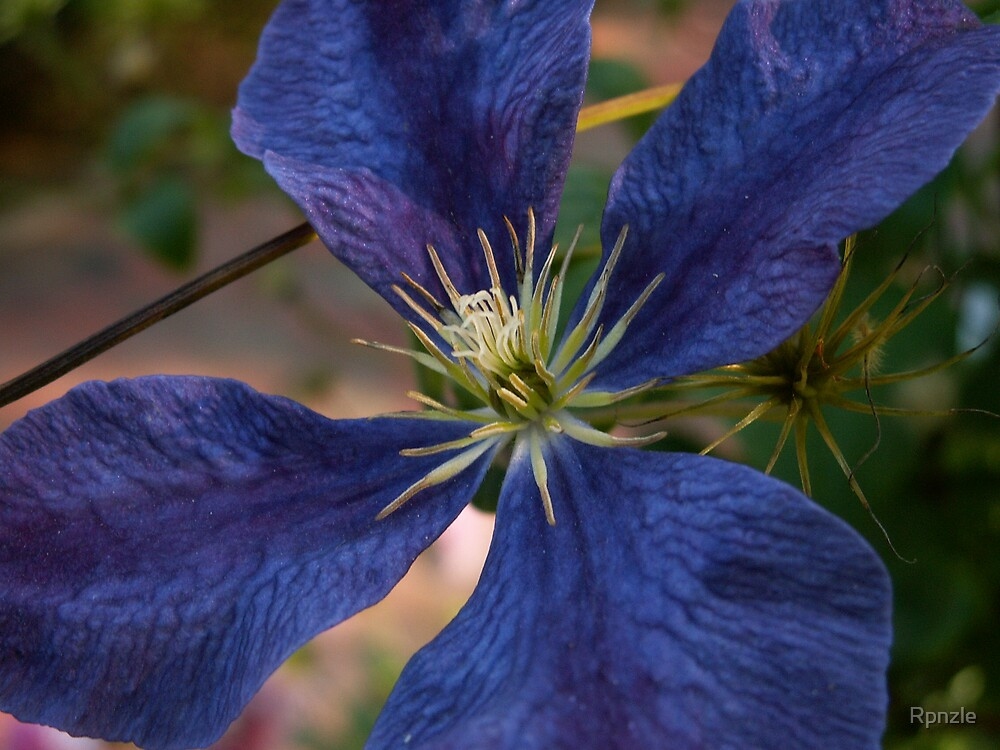 Bright Blue Clematis by Rpnzle