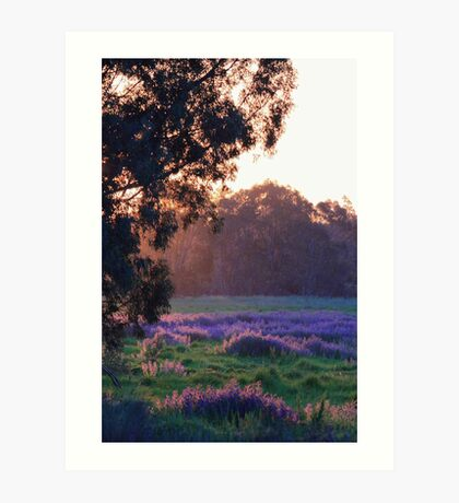 Pattersons Purple Weed At Sunset Art Print