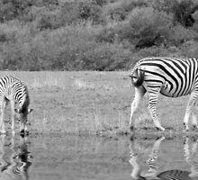 Zebras by Lynn Bolt