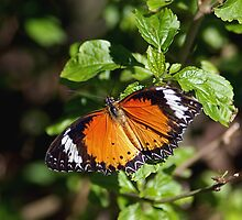 Plain Tiger Butterfly by Maria A. Barnowl